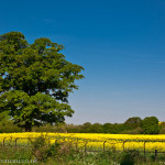 A large old tree stands alone in a rapeseed field.