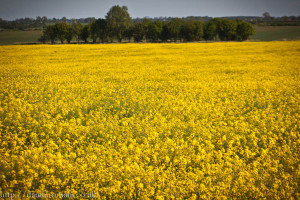 Yellow rapeseed field, England/